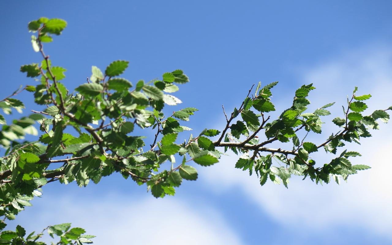 Το δέντρο Αμπελιτσιά