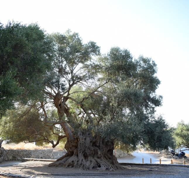 Ancient Olive Tree of Kavoussi Village